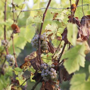 Vignes Kumpf et Meyer à Rosheim, Alsace, France © Photographie Stephane Louis